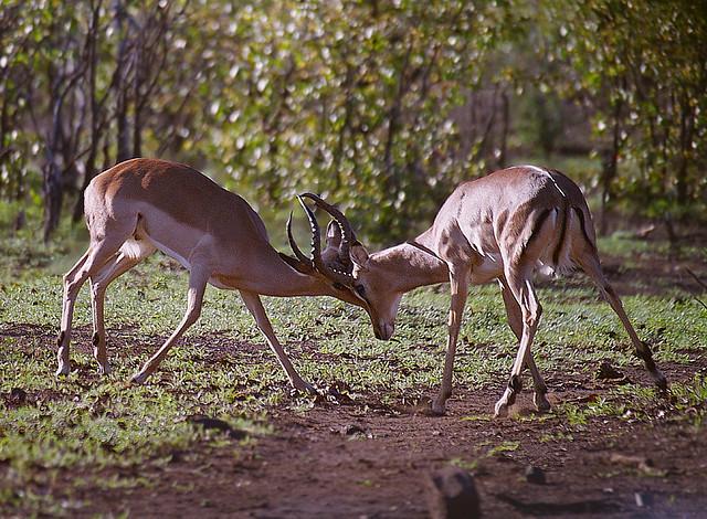 kämpfende Impalas